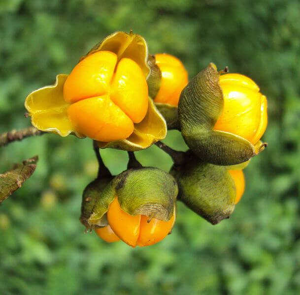 CELASTRUS PANICULATUS (INTELLECT TREE)